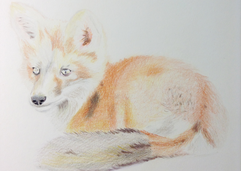 Fox Drawing Step 6