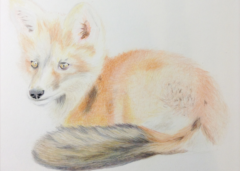Fox Drawing Step 7