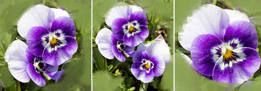 pansie drawing crop of the reference picture