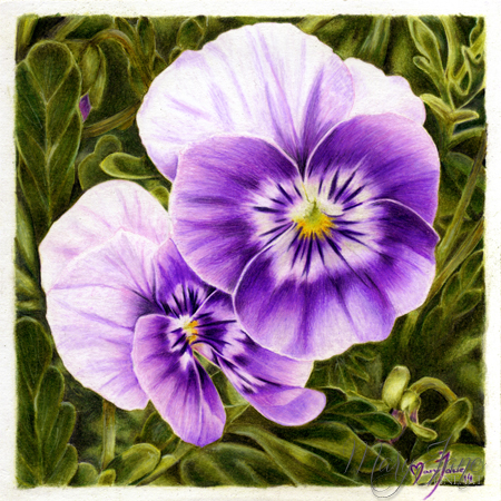 Drawing of a violet Pansy