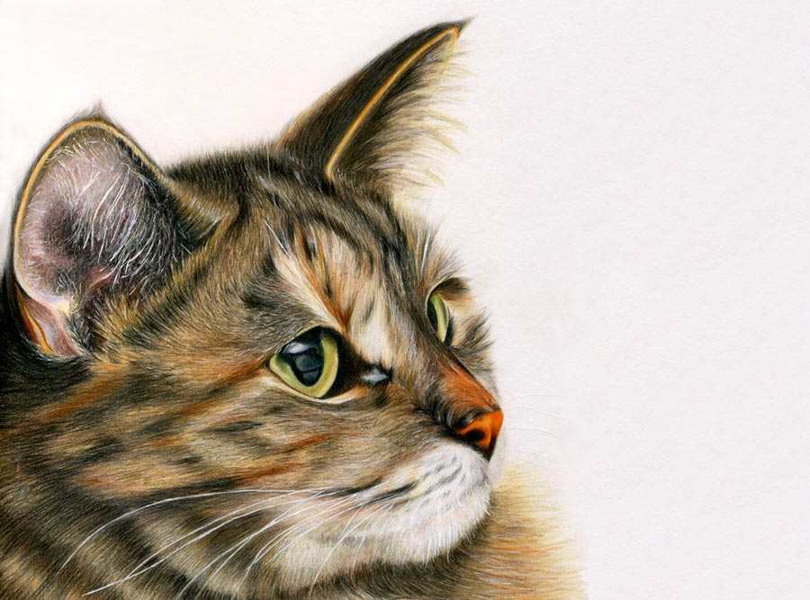 colored pencil drawing of a cat by maryjane sky fine art
