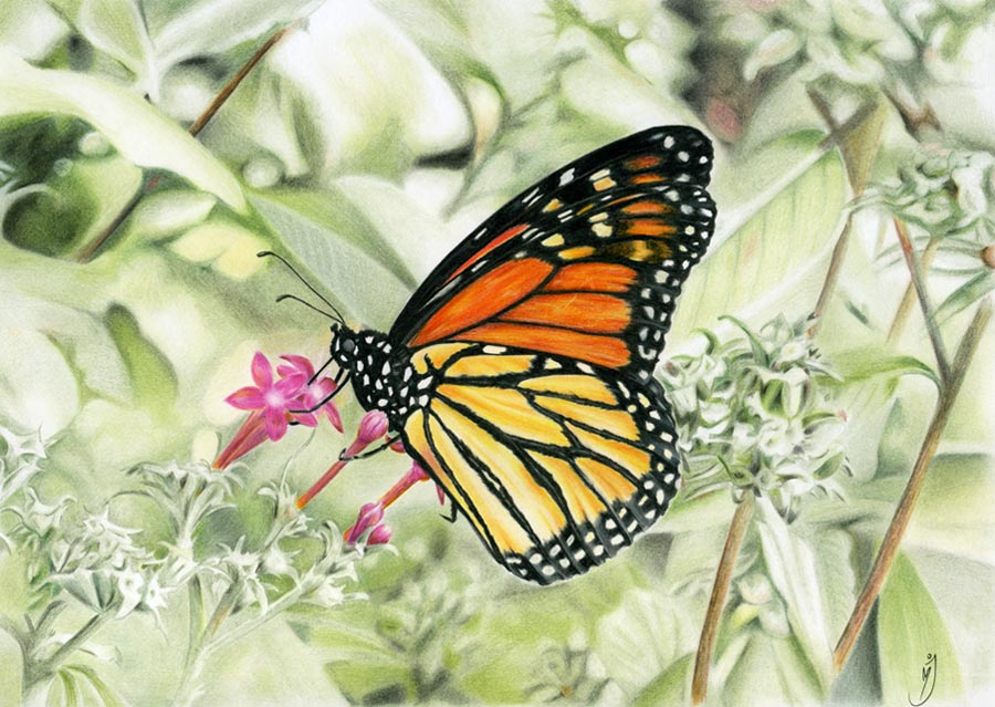 Colored Pencil Drawing of a Monarch Butterfly by MaryJaneFineArt