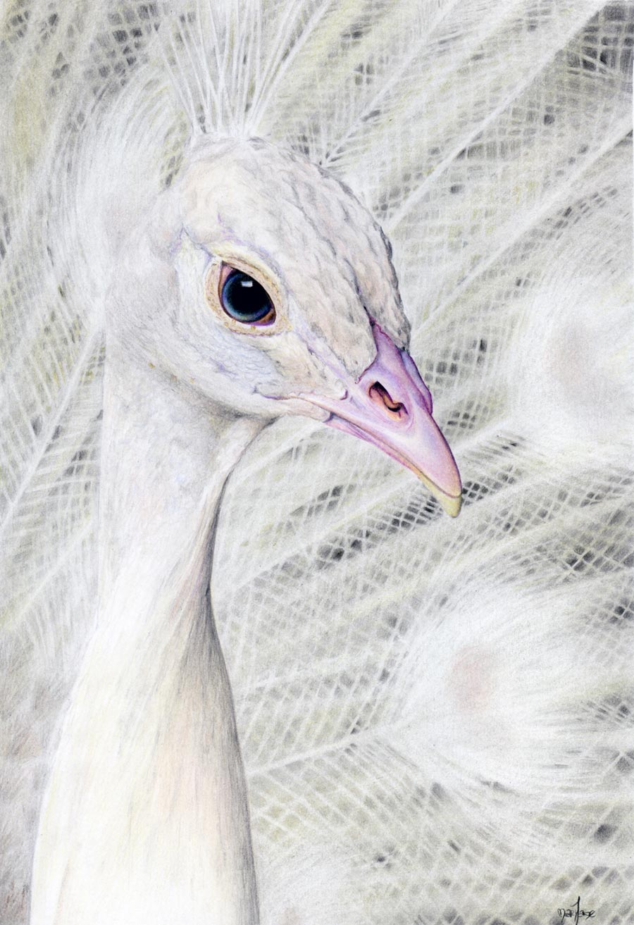 Colored pencil drawing of a white peacock by maryjane sky fine art